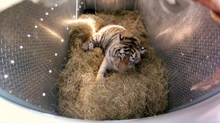 Repeat youtube video Incredibly Rare Siberian Tiger Release - GoPro Video of the Day