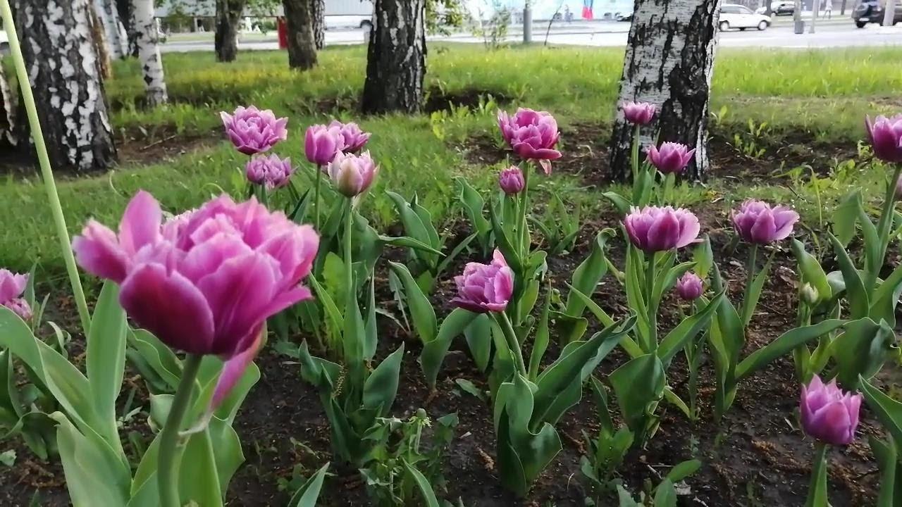 Красивые тюльпаны май