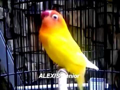 Lovebird - Lovebird Lutino Mata Merah Ngekek Panjang Juara Nasional Presiden Cup 2014
