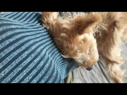 Welsh Terrier Vegy loves grooming