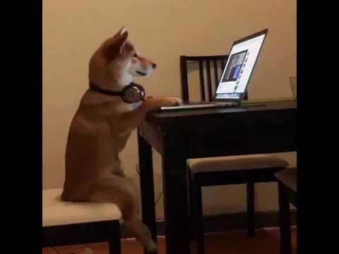 Shiba inu Chiko watching YouTube