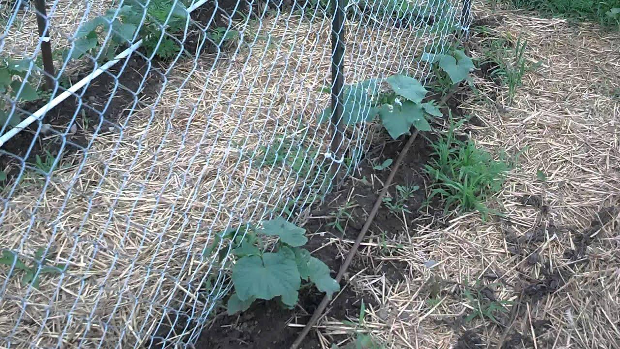 Best Cucumber Trellis Ever...Hopefully!! - YouTube