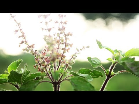 Tulsi [Tulasi] Gayatri Mantra - तुसली गायत्री मंत्र- Listen Everyday for Peace & Harmony in Family