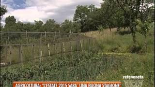 """BASSANO TG - 01/07/2015 - AGRICOLTURA: """"L' ESTATE 2015 SARA' UNA BUONA STAGIONE"""""""