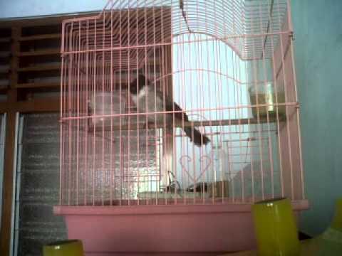 Kicauan burung kutilang