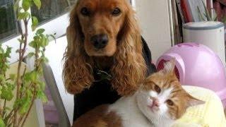 犬が好きな野良猫が家族になりましたよ(押しかけ猫)My new family member, the cat who likes dogs thumbnail