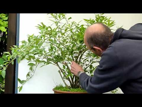 bonsai auf dem stein forsythia on the rock doovi. Black Bedroom Furniture Sets. Home Design Ideas