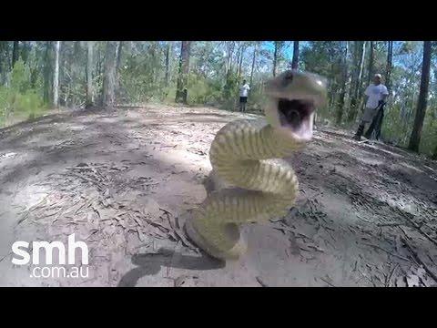Eastern brown snake attacks camera