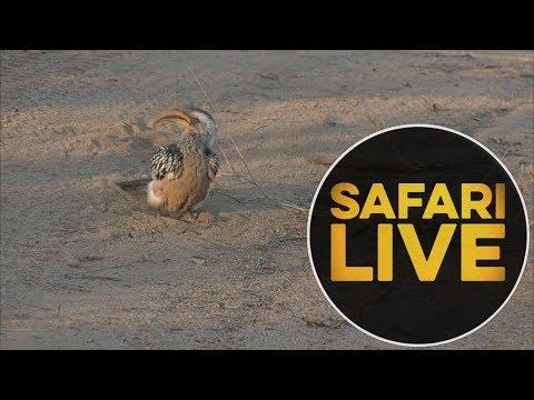safariLIVE - Sunset Safari - June 15, 2018