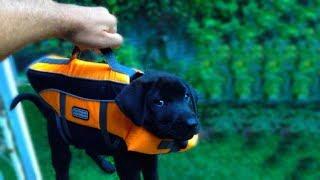 35 Фото Доказательств, Что Лабрадоры и Голден Ретриверы Самые Лучшие Собаки в Мире
