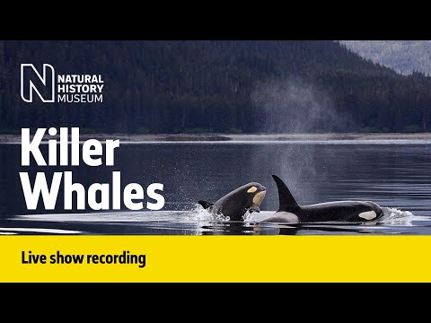 The Social Side of Killer Whales | Live Talk with NHM Scientist