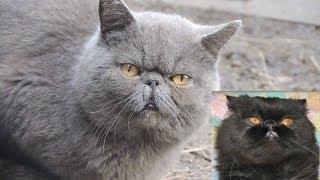 Серый Персидский кот НАш ван Дрейк Nash van Drake The Gray #Persian #cat