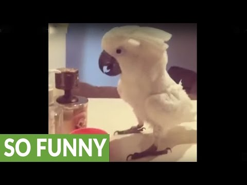 Cockatoo shows off impressive dance moves