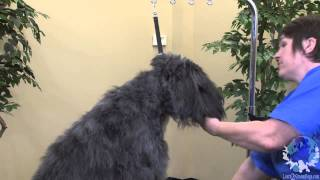 Grooming a Bouvier des Flandres