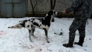 Видео о преданности собаки Мраморный дог до последнего не отходил от своего дру