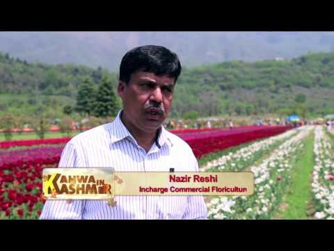 Kahwa In Kashmir Ep 07 - Asia's largest tulip garden in Kashmir