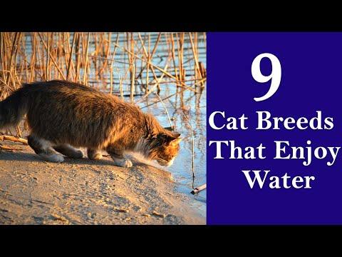 9 Cat Breeds That Enjoy Water