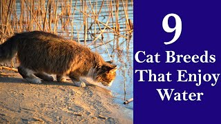 9 Cat Breeds That Enjoy Water
