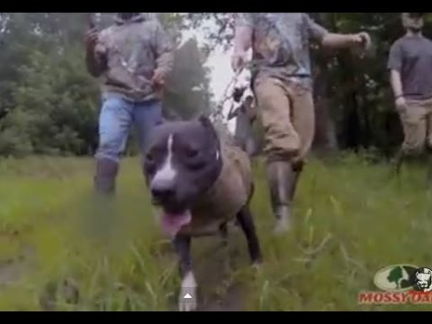 Caça ao javali com Pit Bull - Compilation dog hunting hogs