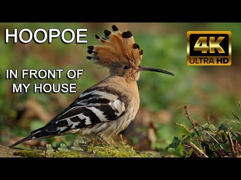 A Beautiful Bird Wanted to Come in my House - The Beauty of Nature 4K Ultra HD