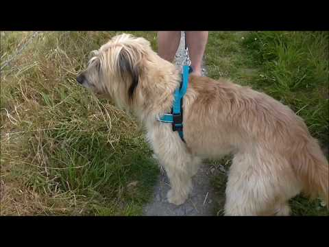 Meet Monty the Catalan Sheepdog Sketrick Co Down