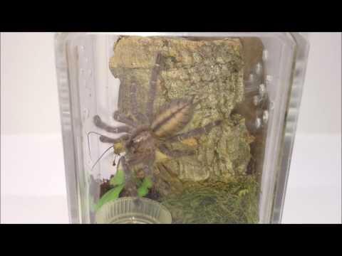 Tarantula Sling Feeding - P Metallica & OBT