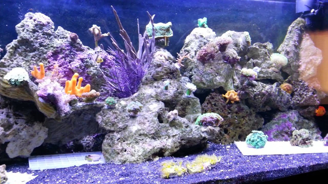 Starfish dying reef tank aquarium losing arm leg - YouTube