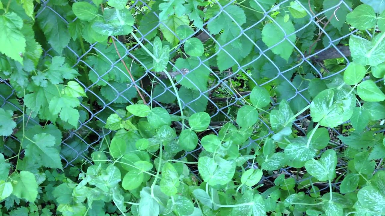 How to Support Peas on a Chain-link Fence Update 3 - YouTube