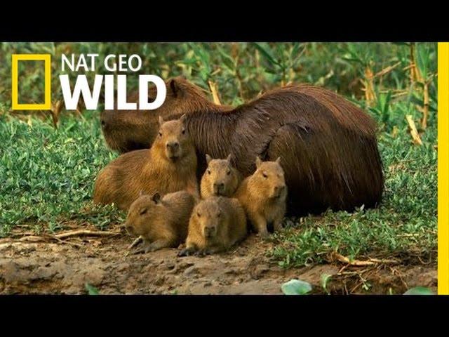 Así es el capibara, el animal más amistoso del mundo que sirve de  transporte para otras especies en el Amazonas | National Geographic en  Español