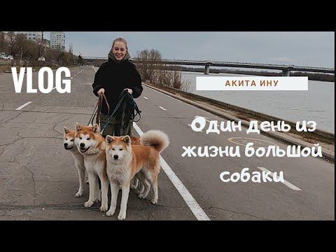 Один день из жизни большой собаки. Порода Акита Ину.