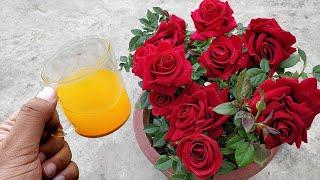 मैं गारंटी लेता हूँ, इस तरीके से आएंगे गुलाब पर पत्तियों से ज़्यादा फ़ूल