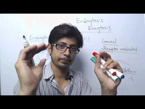Endocytosis vs exocytosis