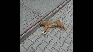 Собака дышит.
