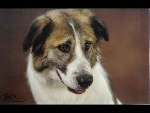 Atlas Mountain Dog (Aidi ) - Dog Breed