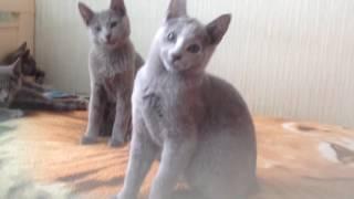 Питомник русских голубых кошек Ruzara
