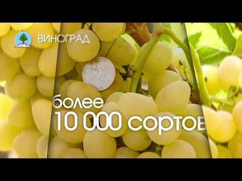 """ВИНОГРАД. Питомник """"Сады Урала"""""""