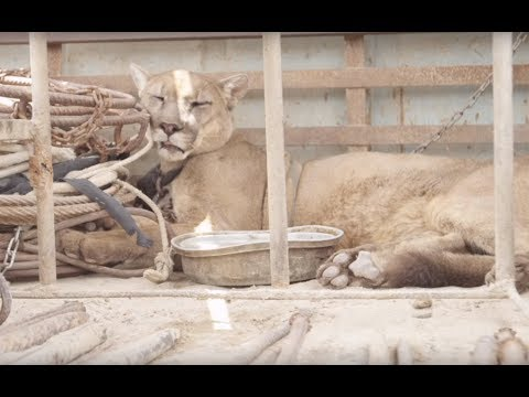 This Mountain Lion Was Chained Up By A Circus For 20 Years. Then Rescuers Arrived To Set Him Free..
