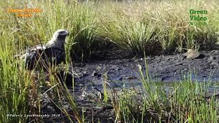Eastern imperial eagle / Орел могильник / Aquila heliaca. Green Video