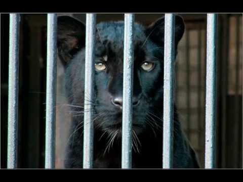 Борис Вайханский - Пантера (Р.М.Рильке) / Der Panther (R.M.Rilke)
