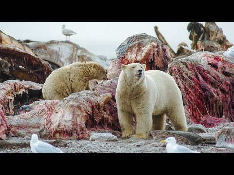 Polar Bear Stands Her Ground To Feed Her Cubs   Life   BBC Earth