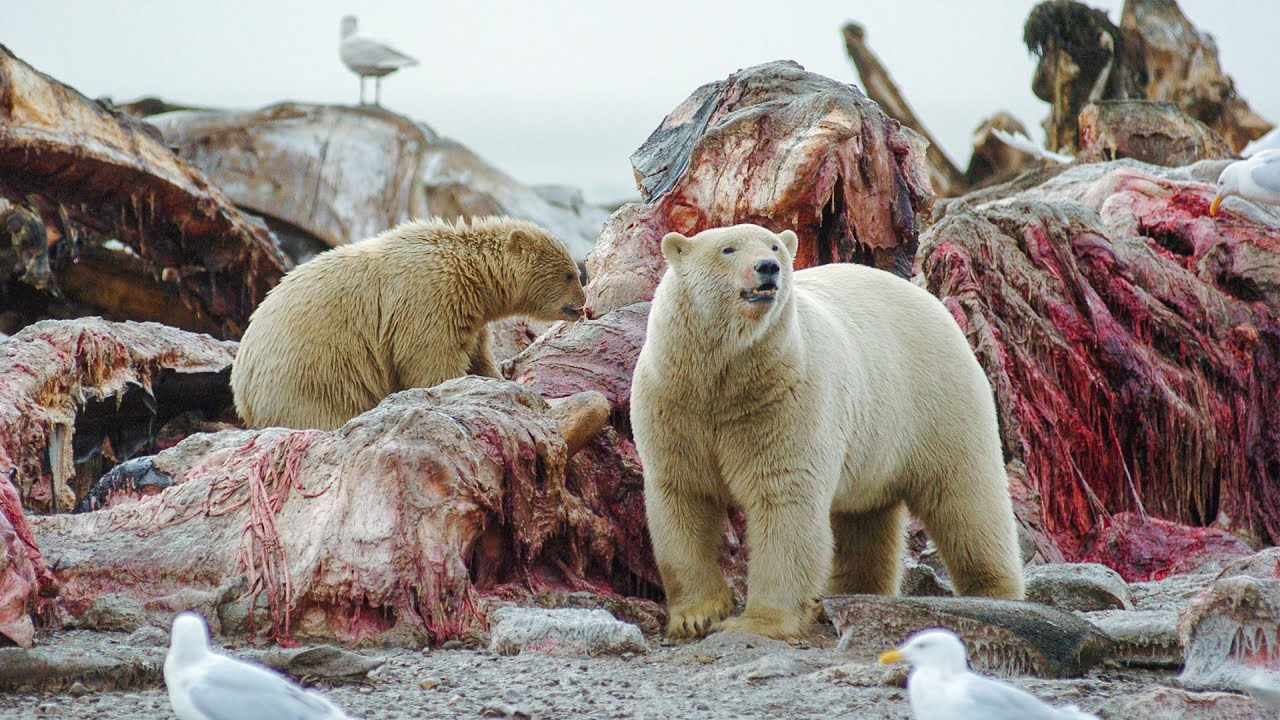 Polar Bear Stands Her Ground to Feed Her Cubs | Life | BBC Earth