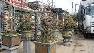 Báo giá mai bonsai chân dài (0383938201)