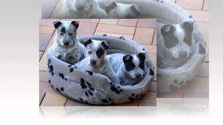 Australian Stumpy Tail Cattle Dog Dog Breed