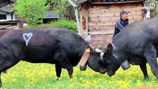 Vaches d'Hérens : combats de reines aux Contamines