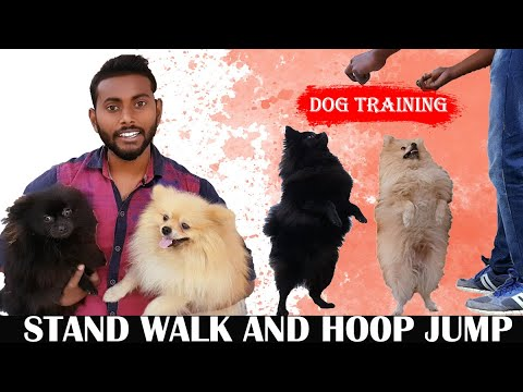 Dog Training Tips and Tricks Video That You Will Love To Watch | Cute Pomeranian Day 1 in Hindi