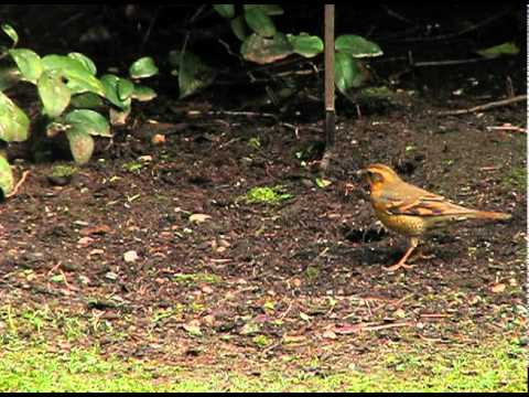 Varied Thrush (You Don't Know Me)