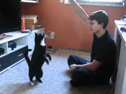 clickertraining mit katze shabou geniale tricks katzentraining cat training youtube. Black Bedroom Furniture Sets. Home Design Ideas