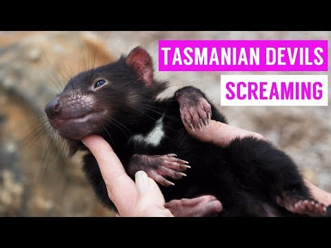 Cute Tasmanian Devil Screaming And Growling Compilation 2017