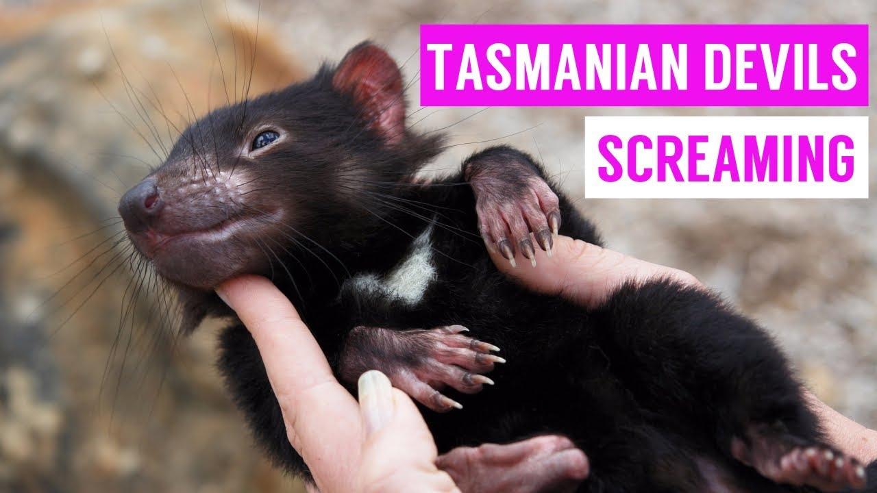 cute tasmanian devil screaming