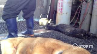 South Korean Dog Meat Industry 대구 두 번 치다 Beating with metal pipe in Daegu Slaughterhouse